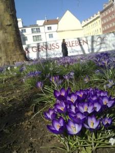 Im März sah man viele schöne Frühlingsblumen auf der Hauptstraße. Im Hintergrund ist die Baustelle des Neubaus auf der Hauptstraße Ecke Obergraben zu sehen.